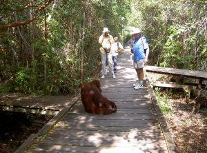 orangutan at Tanjung Puting