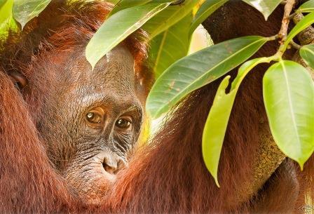 Orangutan Web