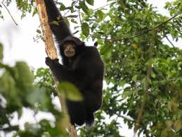 download Siamang