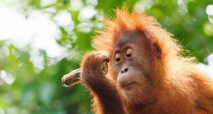 orangutan Indonesia Wildife Tour