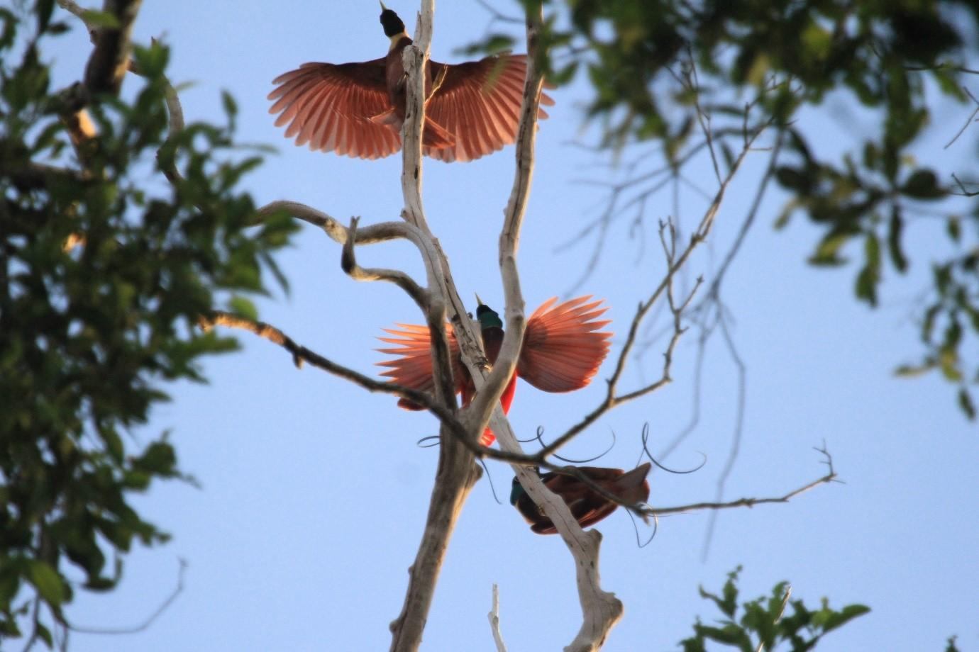 About Our Tour Some Of The Birds Of Paradise Of Papua And Snorkeling In Raja Ampat Ecolodges Indonesia